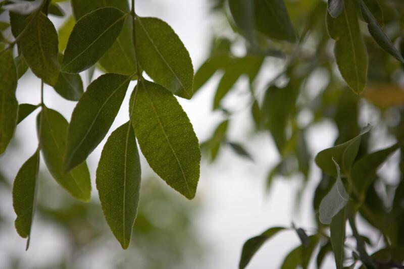 Yellowheart Leaves