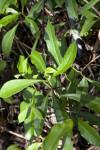 Yellowroot Leaves