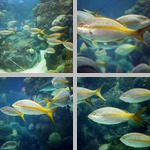 Yellowtail Snapper photographs