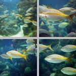 Yellowtail Snapper photographs