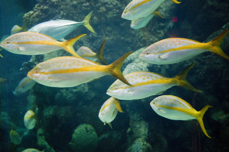 Yellowtailed Snappers