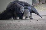 Young Anteater Riding on Back of its Mother