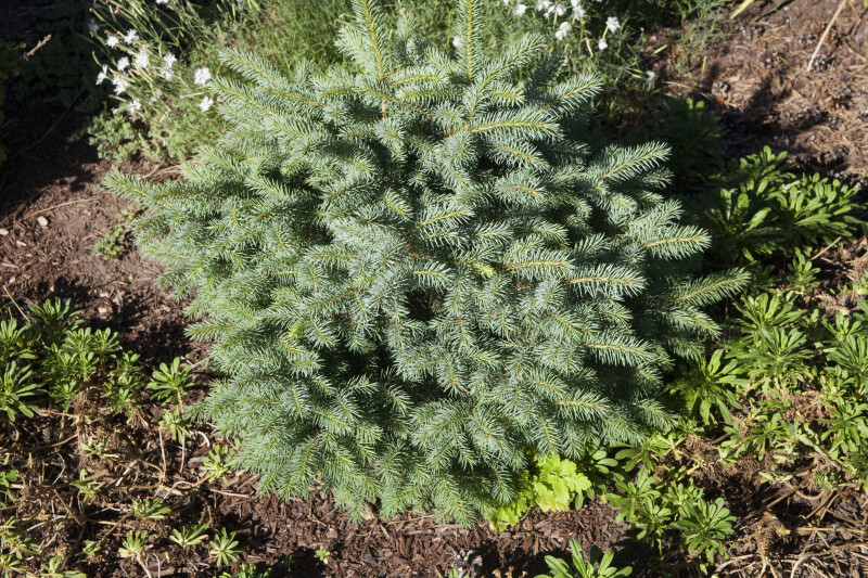 Young Colorado Blue Spruce