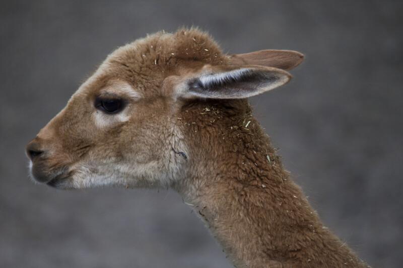 Young Llama Close-Up