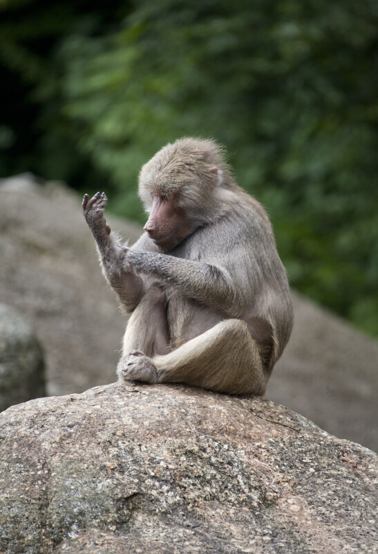 Young Primate Sitting