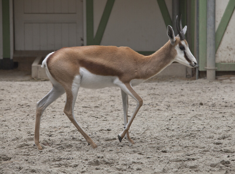 Young Springbok at the Artis Royal Zoo
