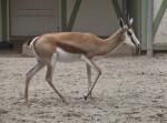 Young Springbok at the Artis Royal Zoo