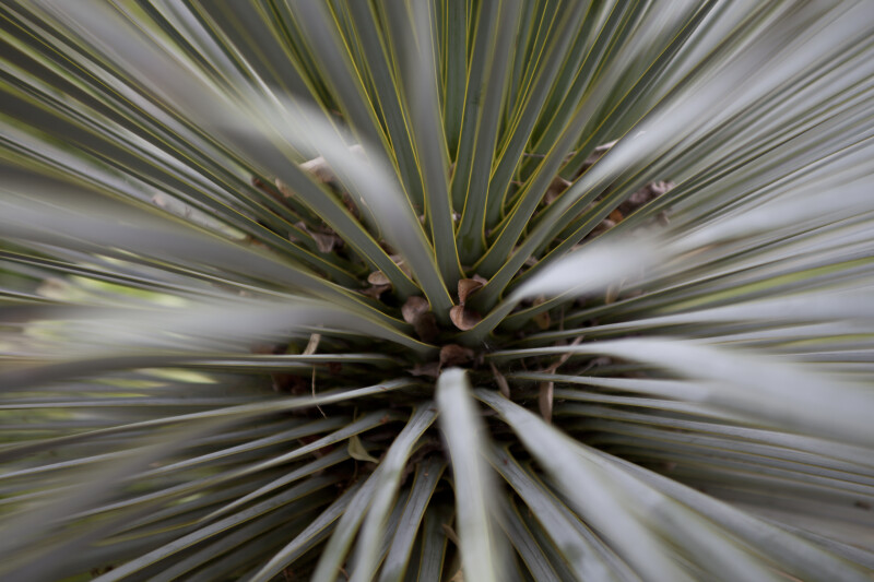 Yucca Rostrata Fronds