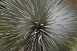 Yucca Rostrata Rosette