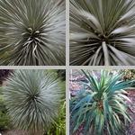 Yucca photographs