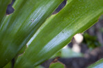Zamia splendens Leaves