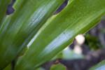 Zamia splendens Leaves