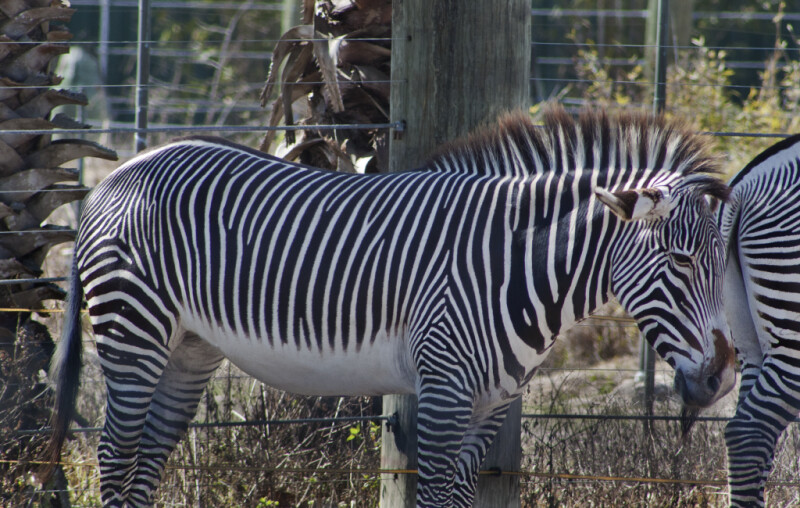 Zebra by Fence