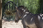 Zebra Eating