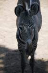 Zebra Front