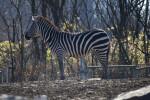 Zebra in Enclosure