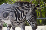 Zebra in Shade