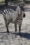 Zebra in the Open