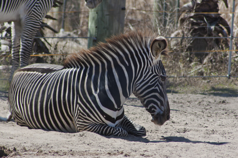 Zebra Laying Down