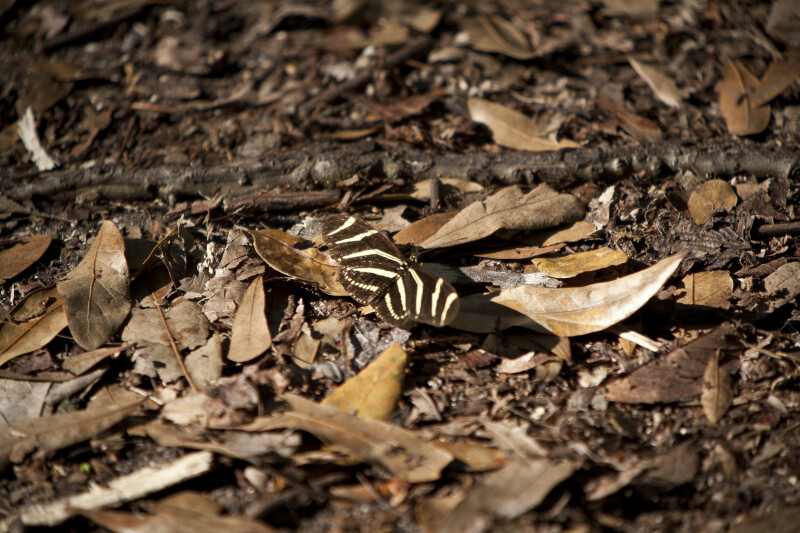 Zebra Longwing on Ground