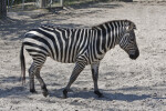 Zebra Walking
