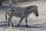 Zebra Walking