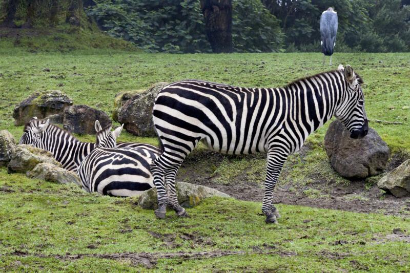 Zebras and Stork
