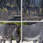 Zebras photographs