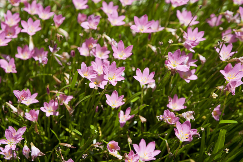 Zephyranthes Rosea Bush