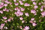 Zephyranthes Rosea Bush