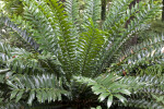 Zululand Cycad at the Kanapaha Botanical Gardens