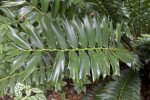 Zululand Cycad Branch with Rigid, Spined Leaves