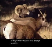 Science Behind the Scenes: Bighorn Sheep-Captioned Version