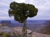 The Utah Juniper