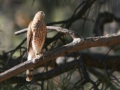 Video - Insider's Look - Migratory Birds at Grand Canyon