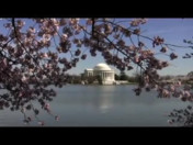 Cherry Blossoms: Washington D.C., 2009