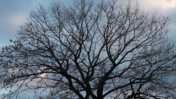 Bare Tree Branches Moving Slightly