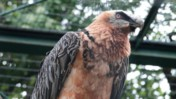 Perched Bearded Vulture at the Schönbrunn Tiergarten
