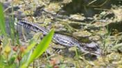 Juvenile American Alligator Crawling in Shallow Water