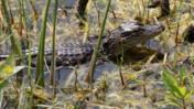 Still Juvenile American Alligator at Shark Valley of Everglades National Park