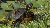 Common Cooter Moving Its Head