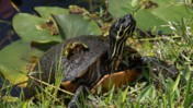 Common Cooter at Shark Valley of Everglades National Park