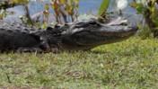 American Alligator at Shark Valley of Everglades National Park