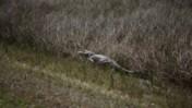 American Alligator Walking at Shark Valley of Everglades National Park