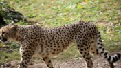 Cheetah Walking at the Memphis Zoo