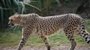 Cheetah Walking and Looking Around