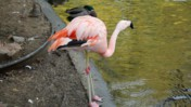 Flamingo Drinking Water at the Memphis Zoo