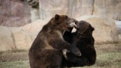 Two Wrestling Bears at the Memphis Zoo