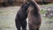 Two Bears Interacting at the Memphis Zoo