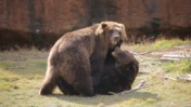 Two Bears In an Enclosure at the Memphis Zoo